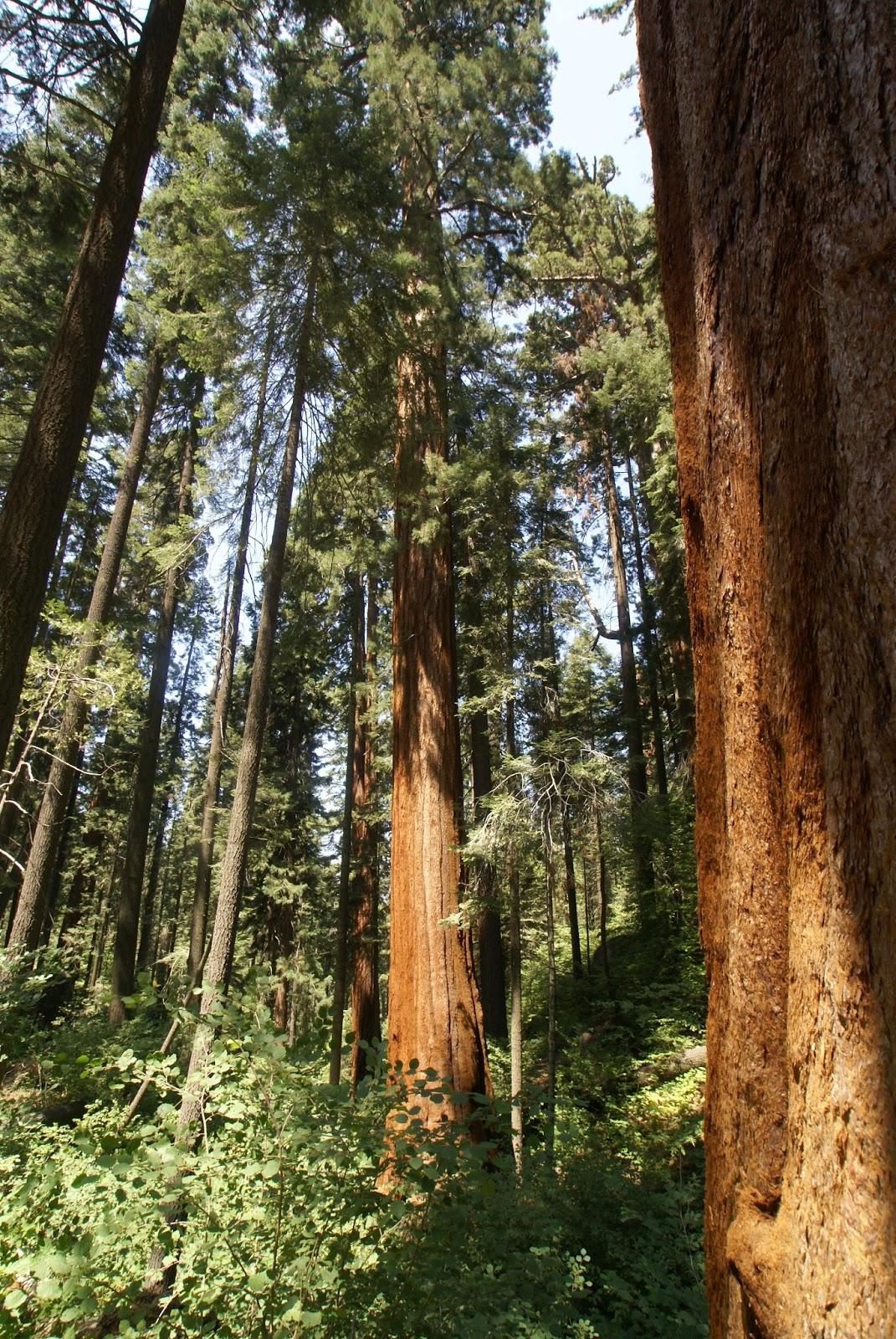 Sequoia giganteum.