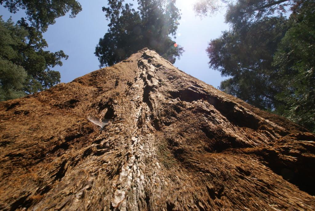 Una sequoia gegant.